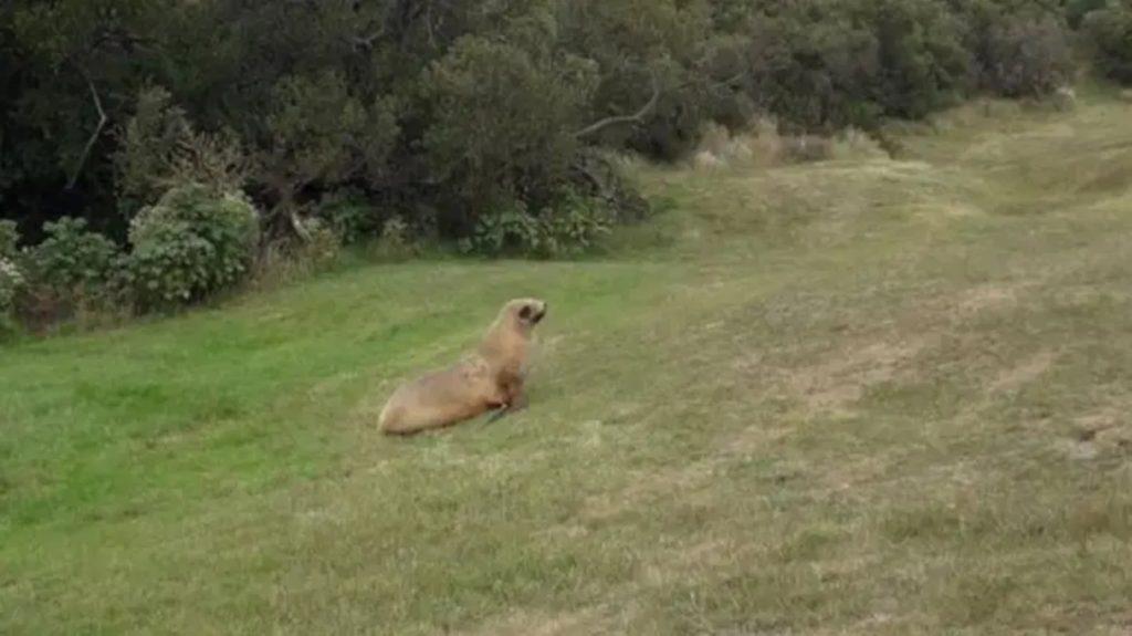 sea lion on golf course